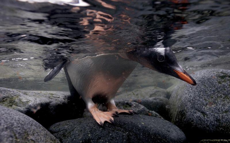 Water birds rocks stones penguins arctic underwater wallpaper