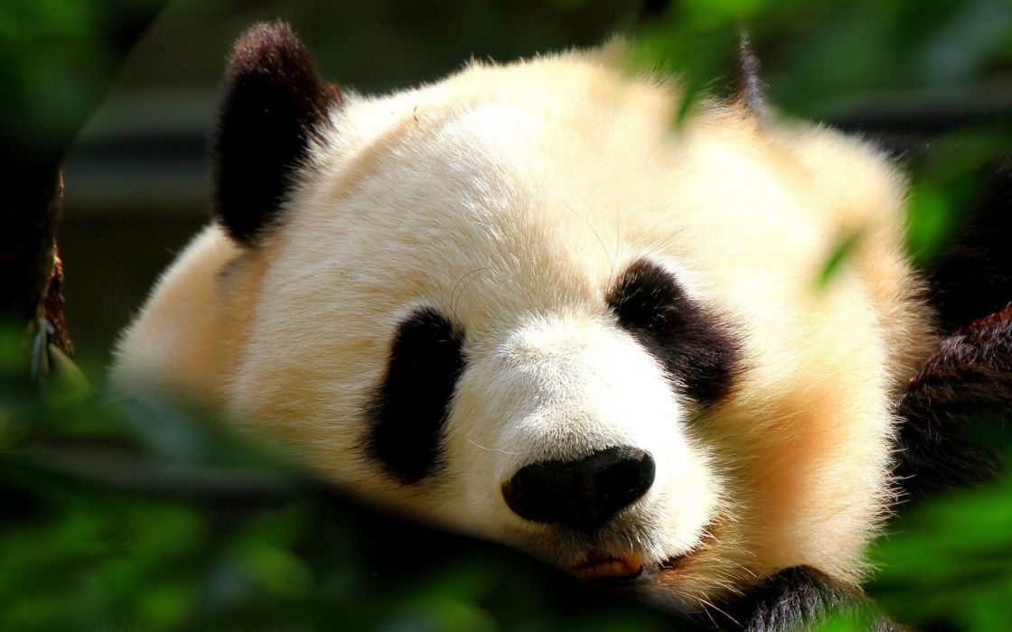 Japan animals panda bears wallpaper