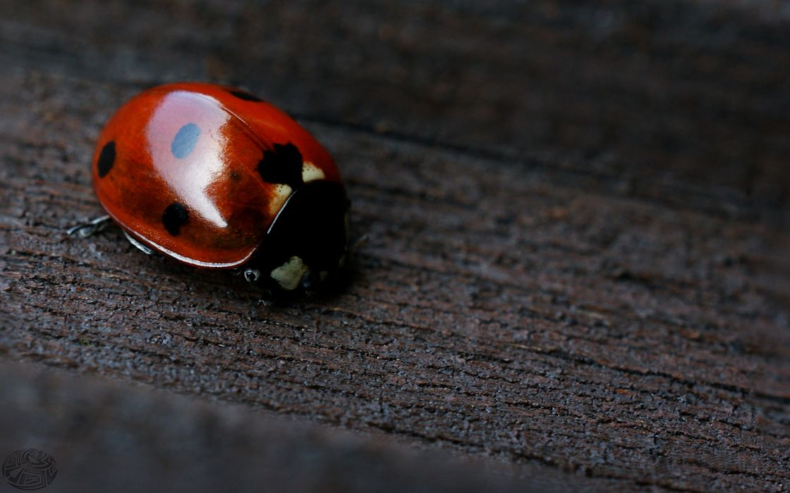 Wood dots macro ladybirds wallpaper