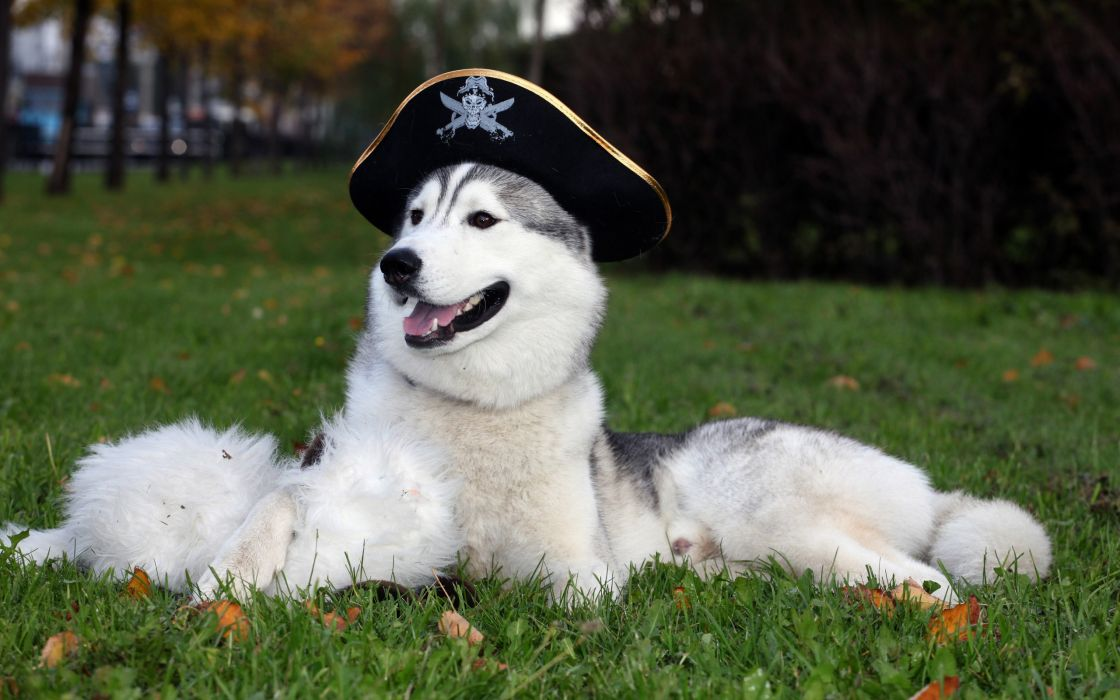 Trees animals grass dogs pirates husky sleeping open mouth wallpaper