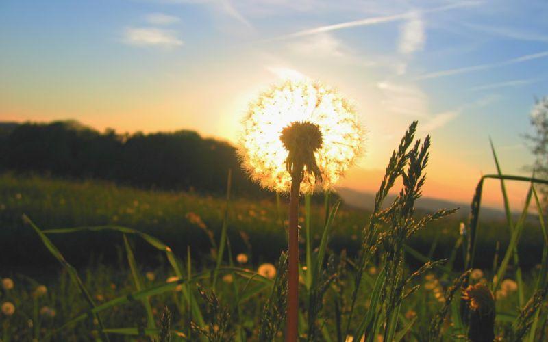 Sunrise landscapes sun grass dandelions wallpaper