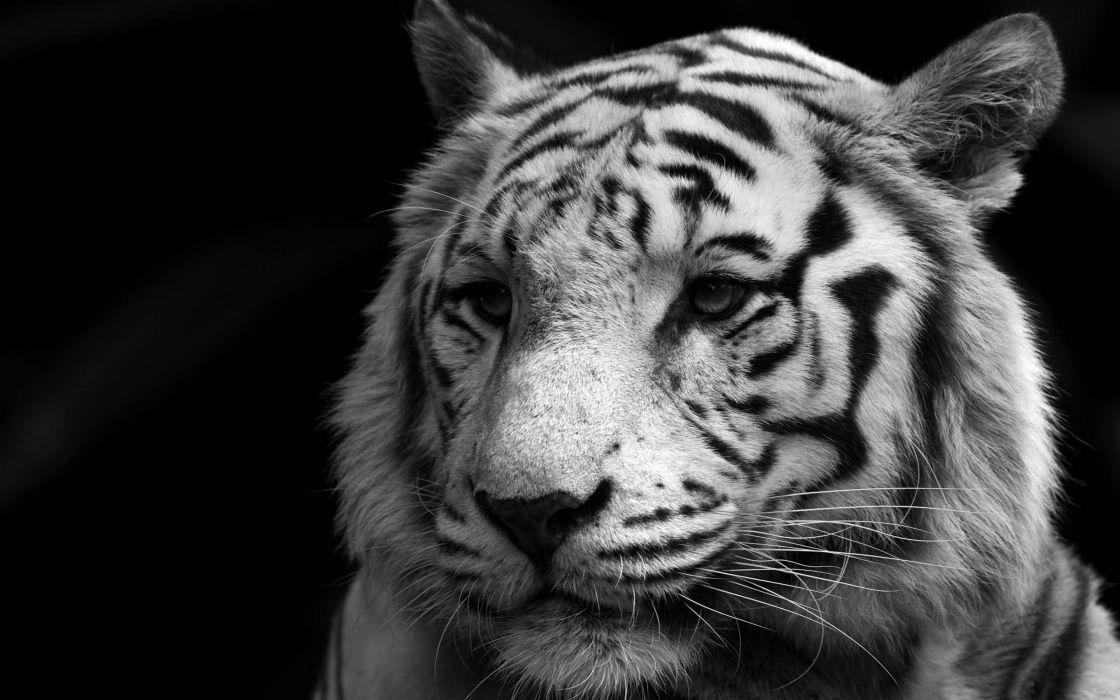 Animals white tiger monochrome wallpaper