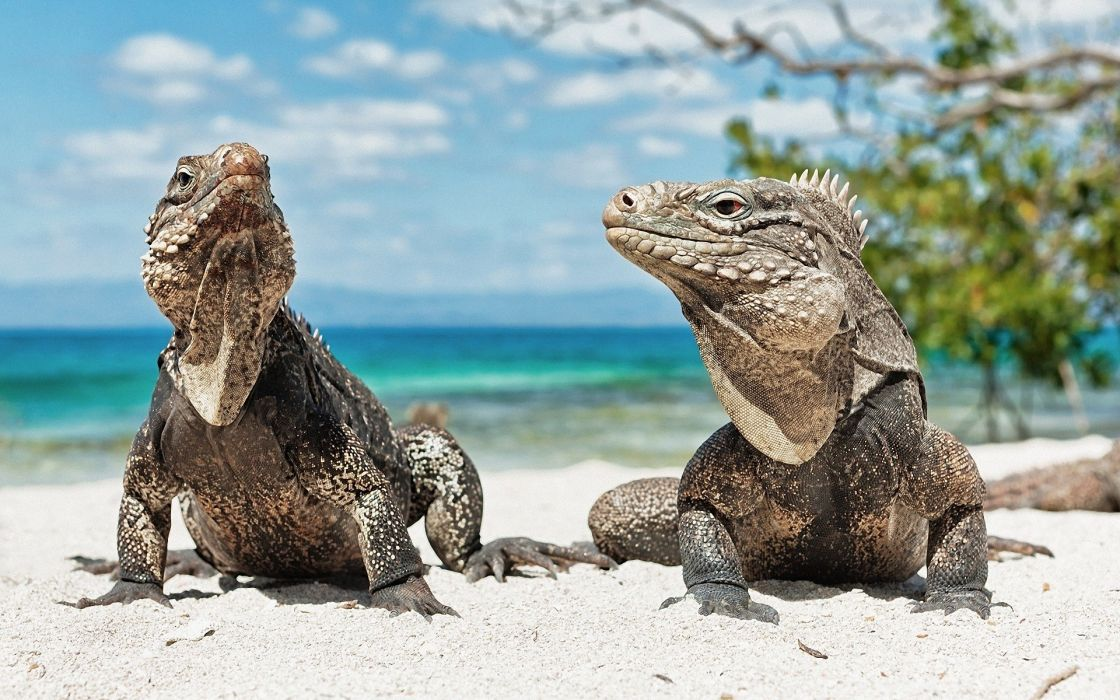 Ocean landscapes animals lizards reptiles iguana wallpaper