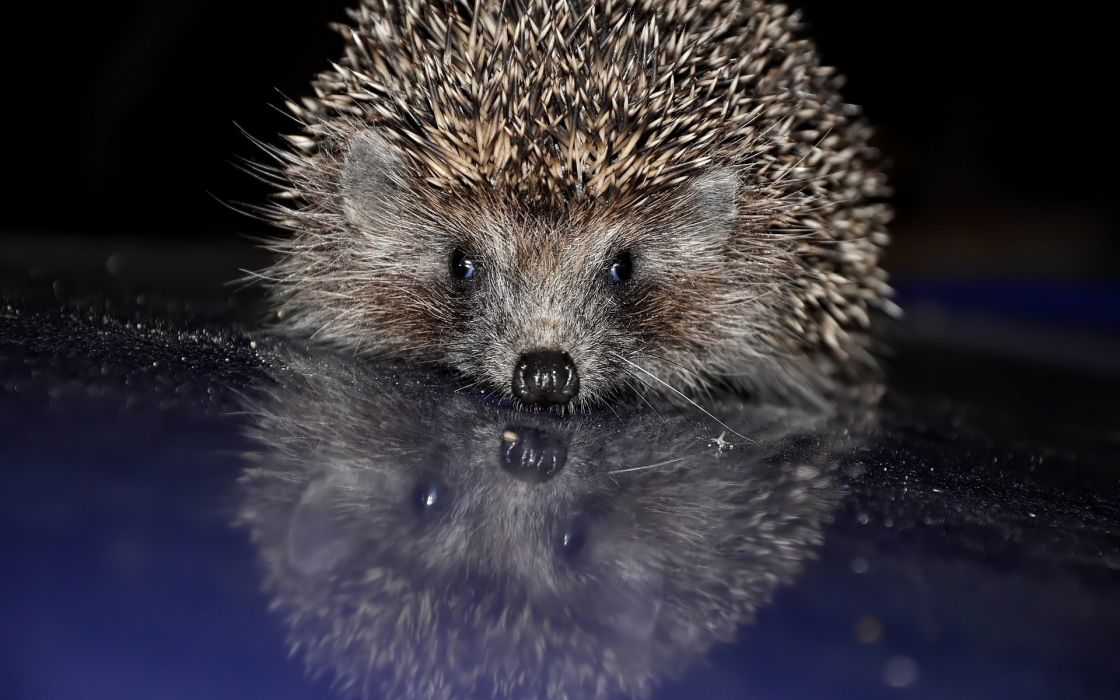 Animals hedgehogs wallpaper