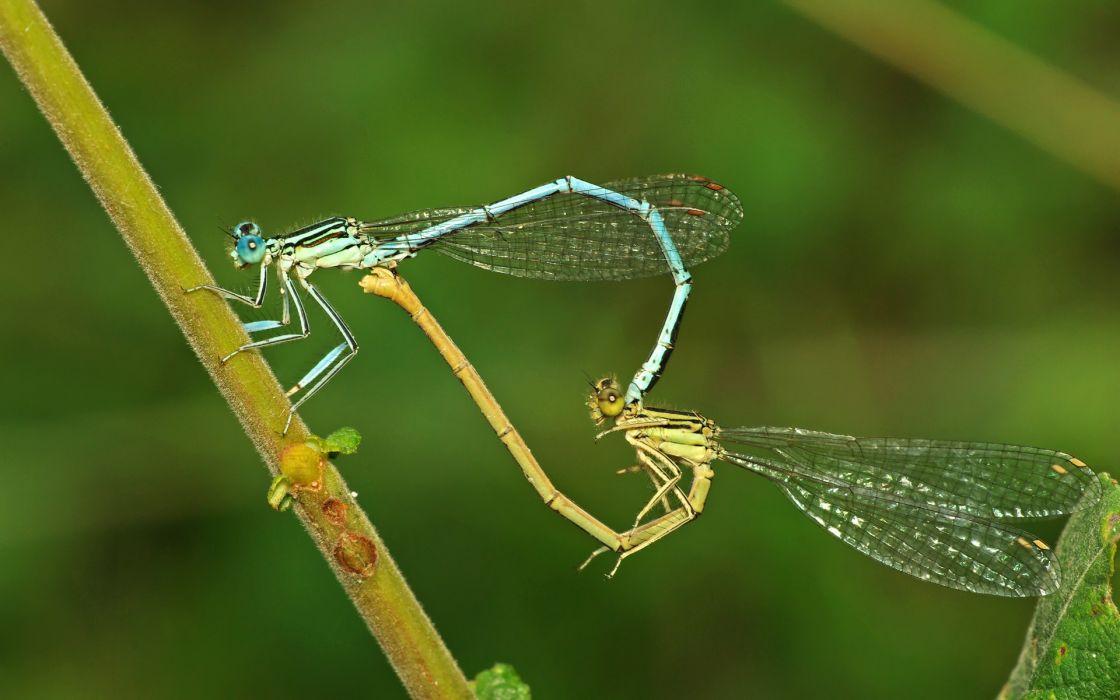 Love dragonfly hearts wallpaper