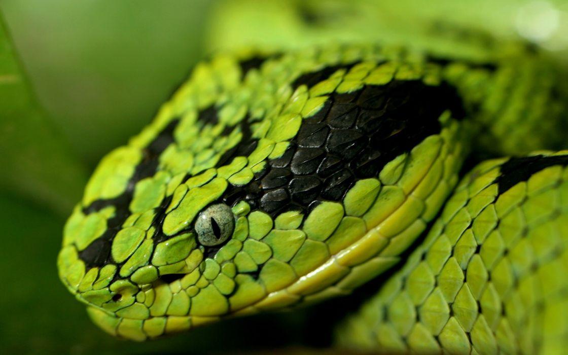 Green snakes snake eyes snake head wallpaper
