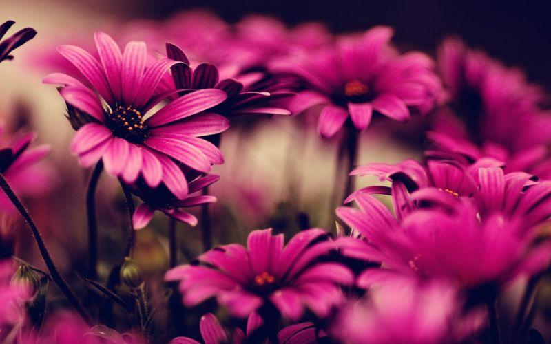 Nature flowers pink wallpaper