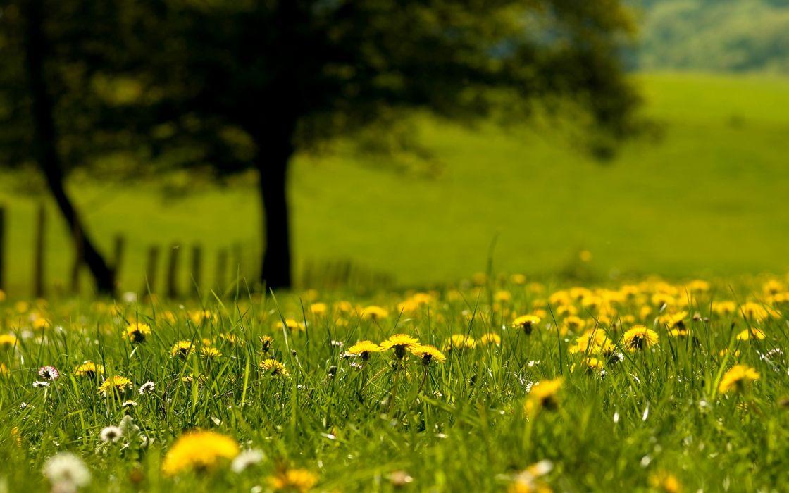 Nature dandelions wallpaper