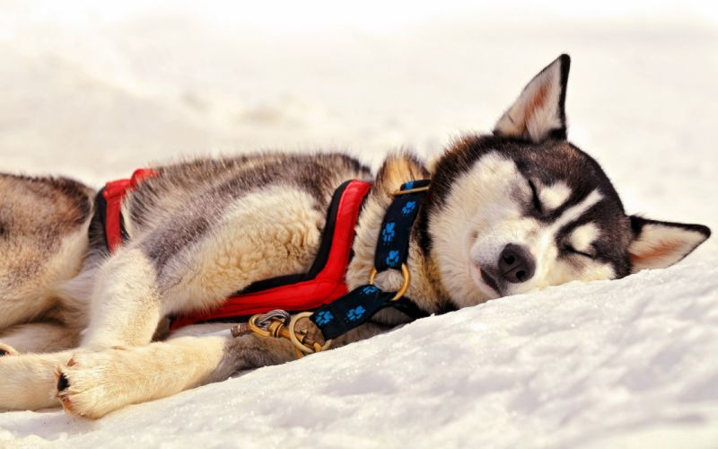 Snow animals dogs outdoors pets wallpaper