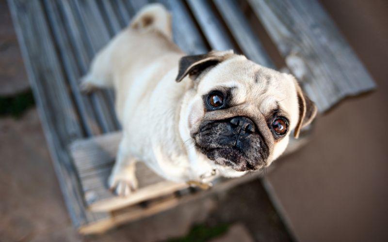 Animals dogs pugs pets wallpaper