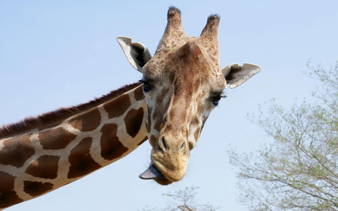 Nature animals giraffes wallpaper