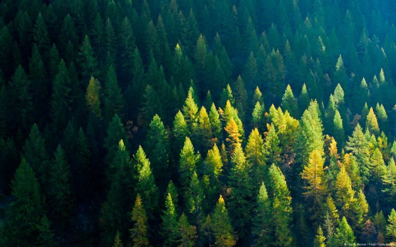 Nature trees forest picea wallpaper