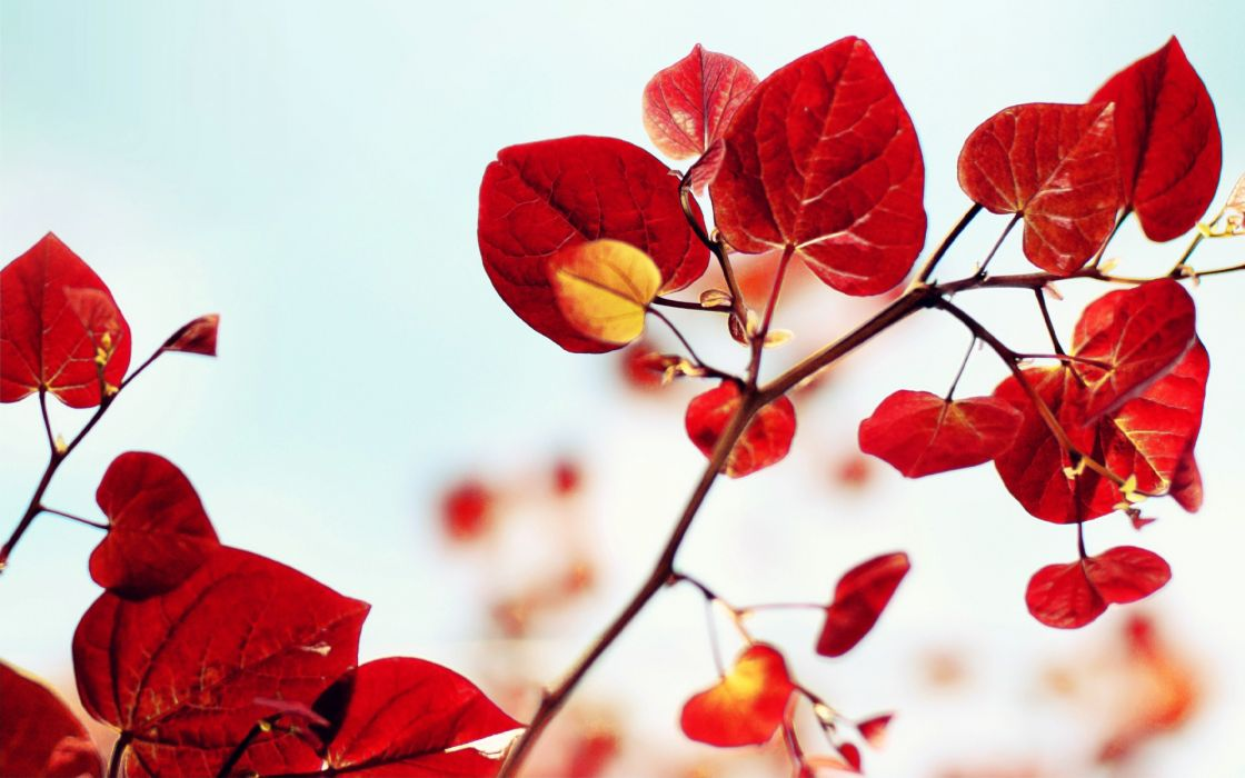 Nature red leaves plants wallpaper