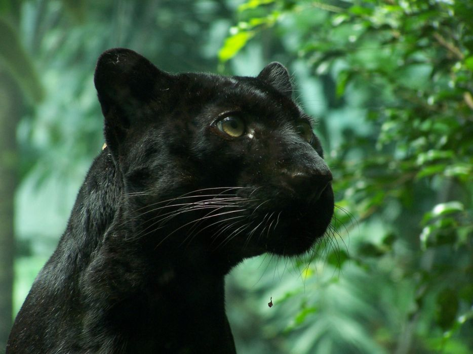Black Panther Animal Wallpapers: Nature Animals Panthers Black Panther Wallpaper