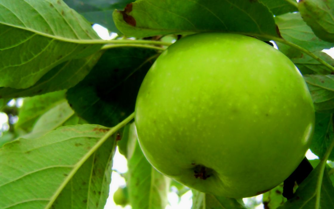 Green nature fruits macro apples wallpaper