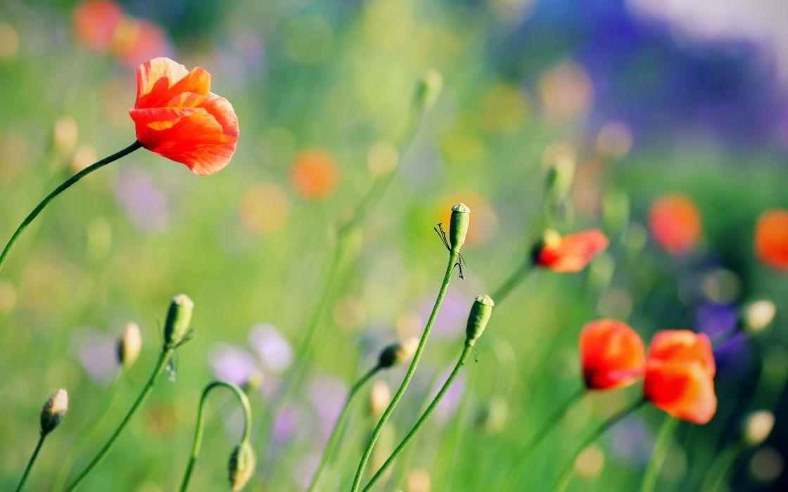 Nature flowers poppy depth of field wallpaper