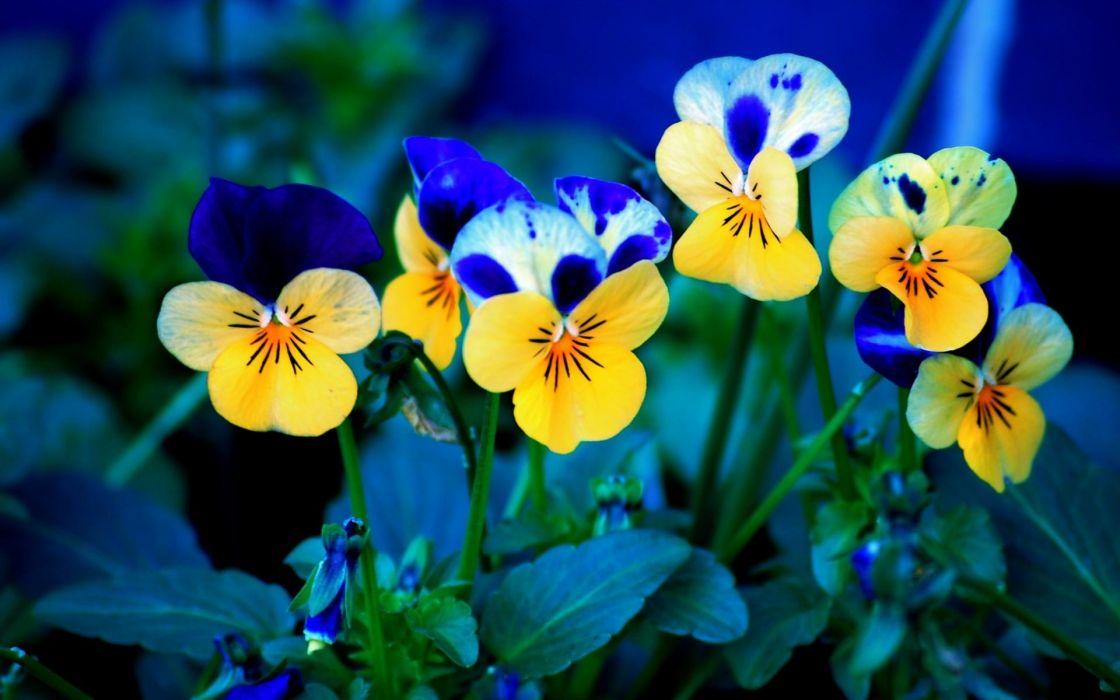Flowers pansies johnny jump up wallpaper