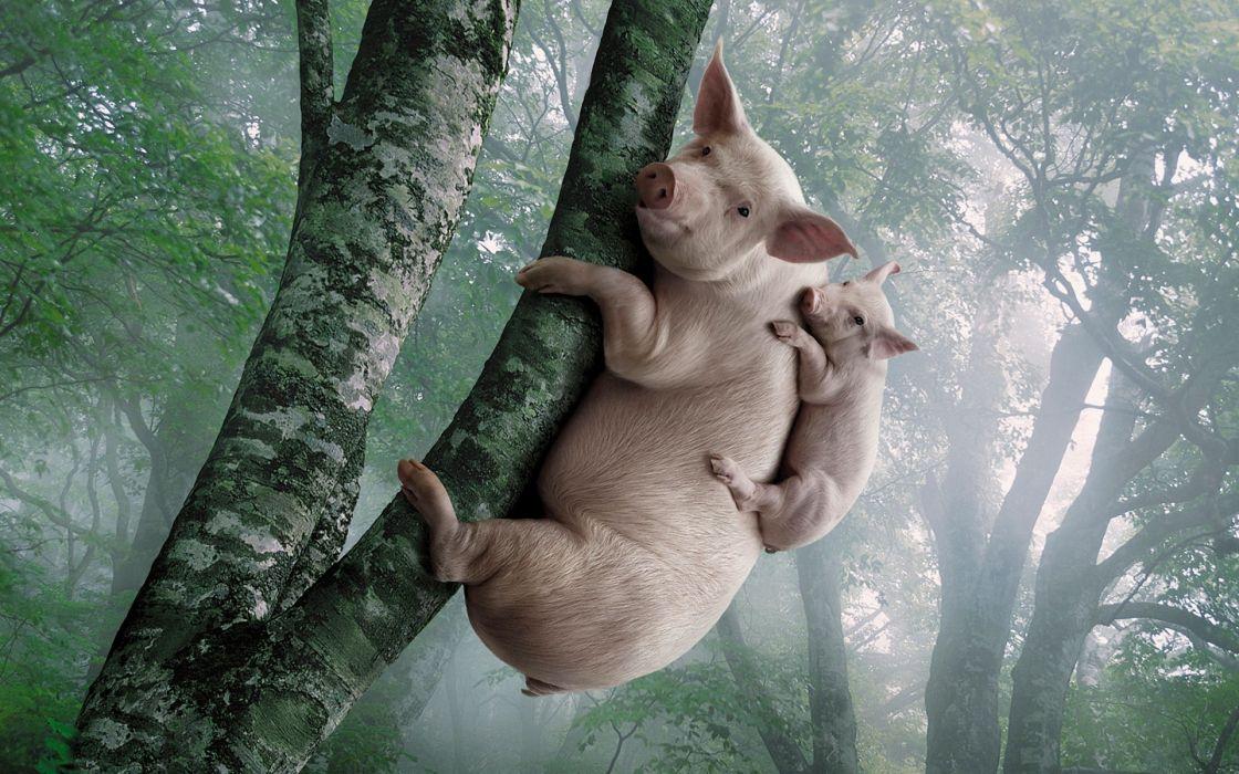 Trees koalas advertisement pig wallpaper