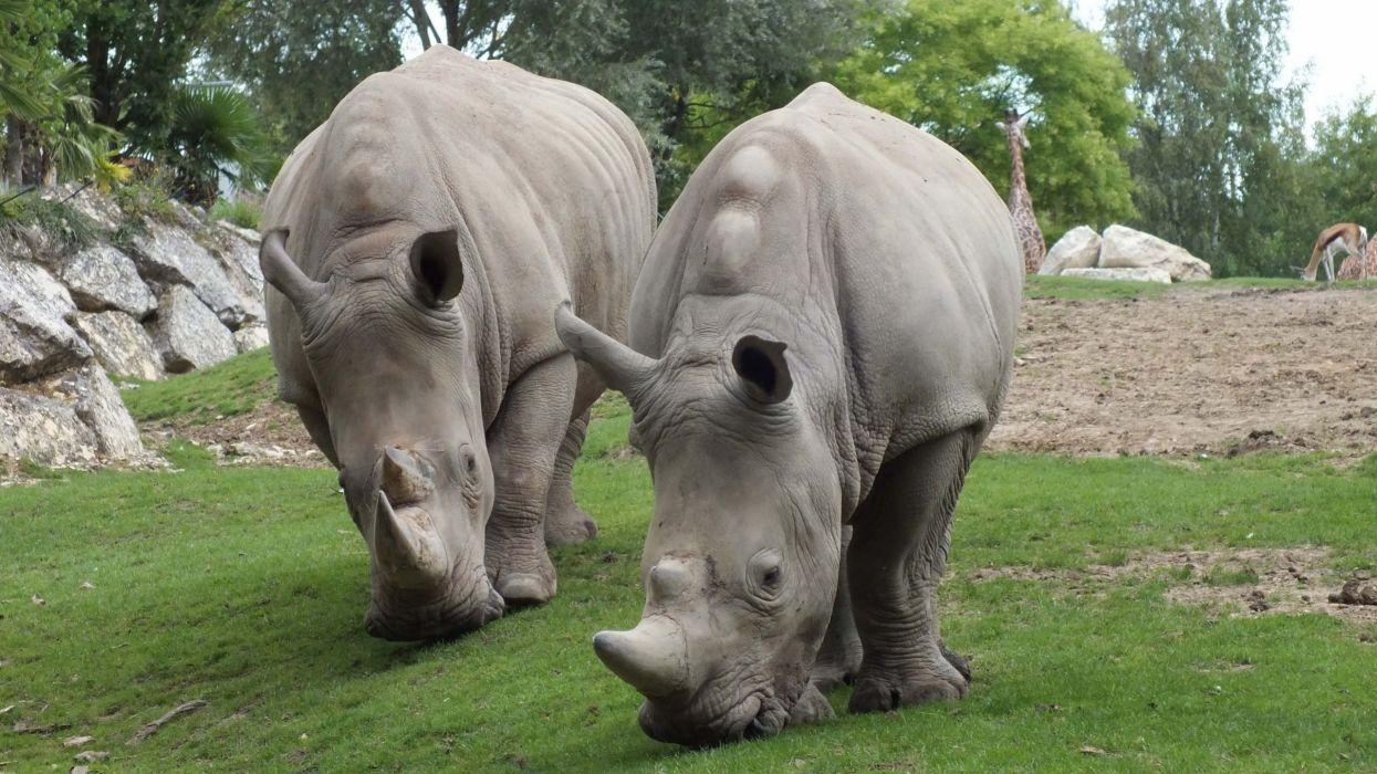 Animals grass rhinoceros wallpaper
