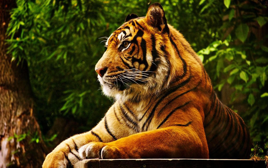 Forest animals tigers feline wallpaper