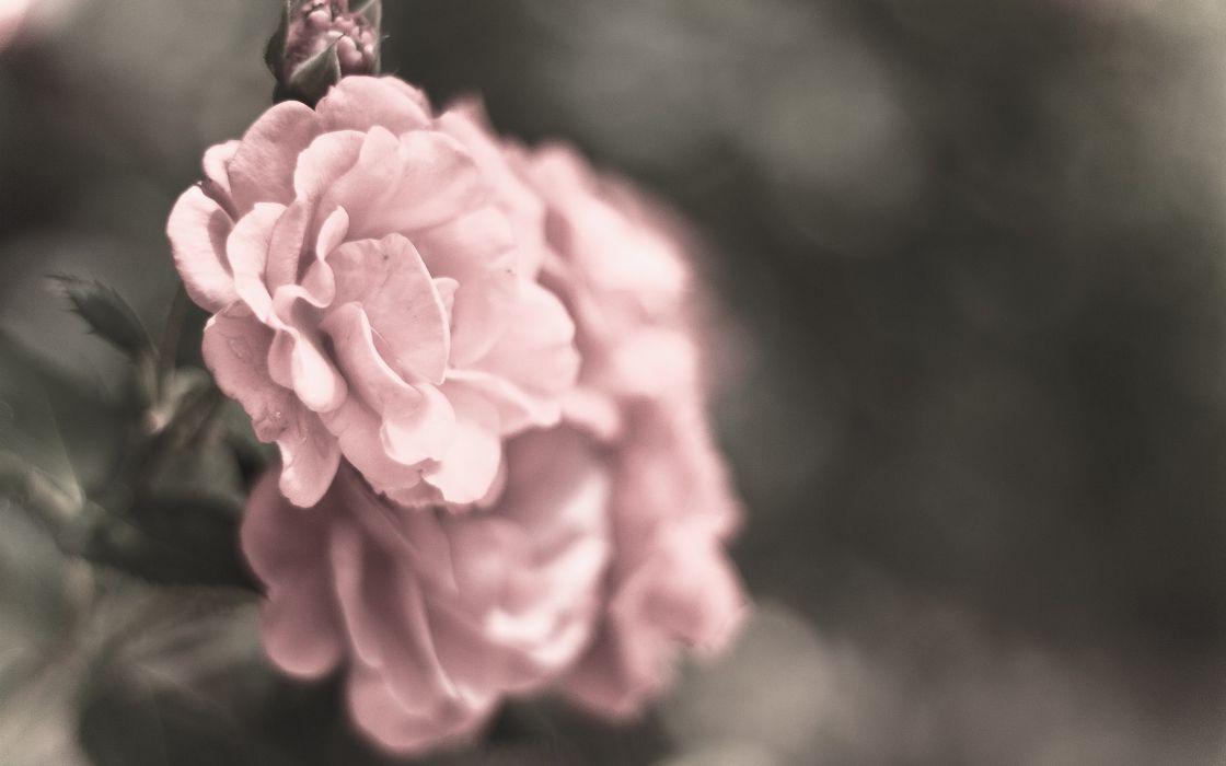 Flowers macro roses wallpaper