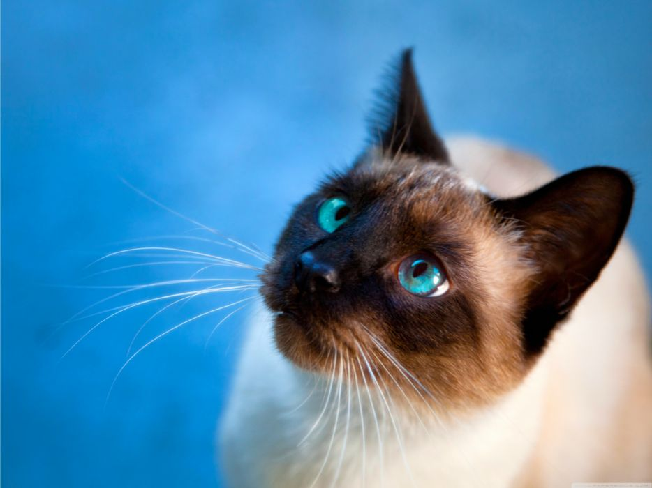 Cats blue eyes animals siamese she wallpaper