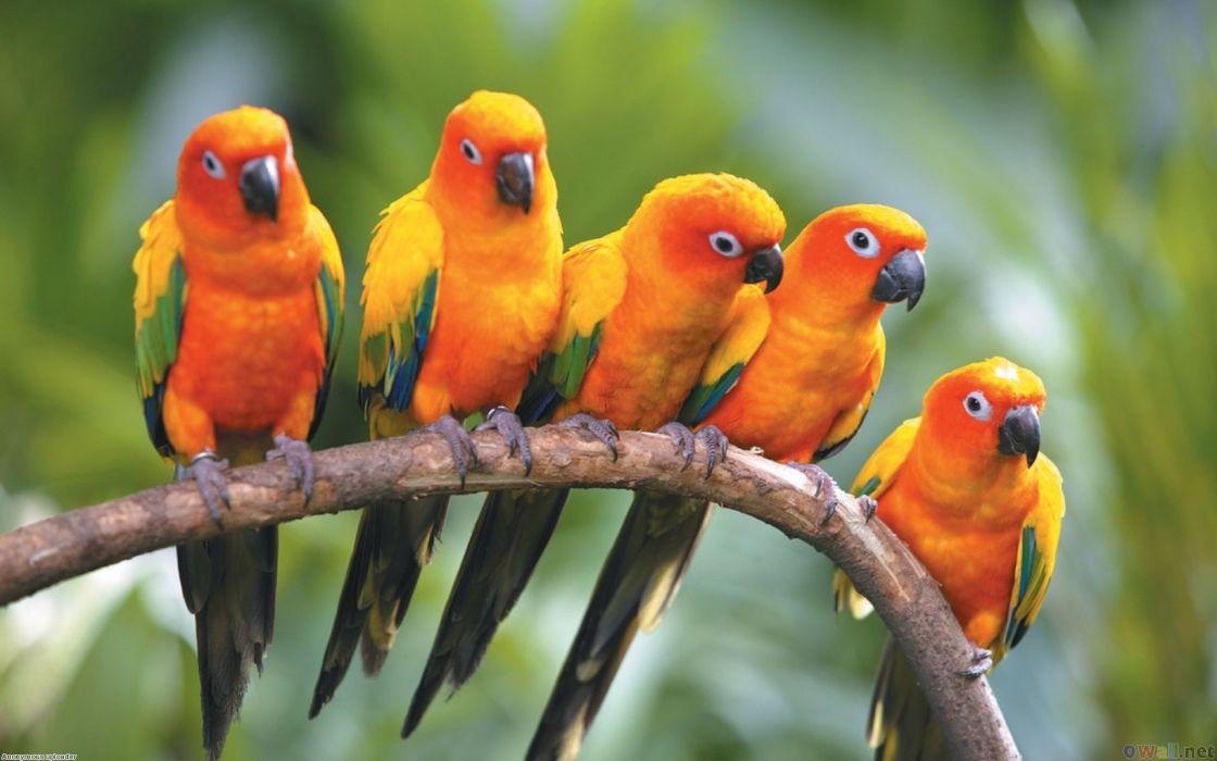 Birds sun conure conures wallpaper