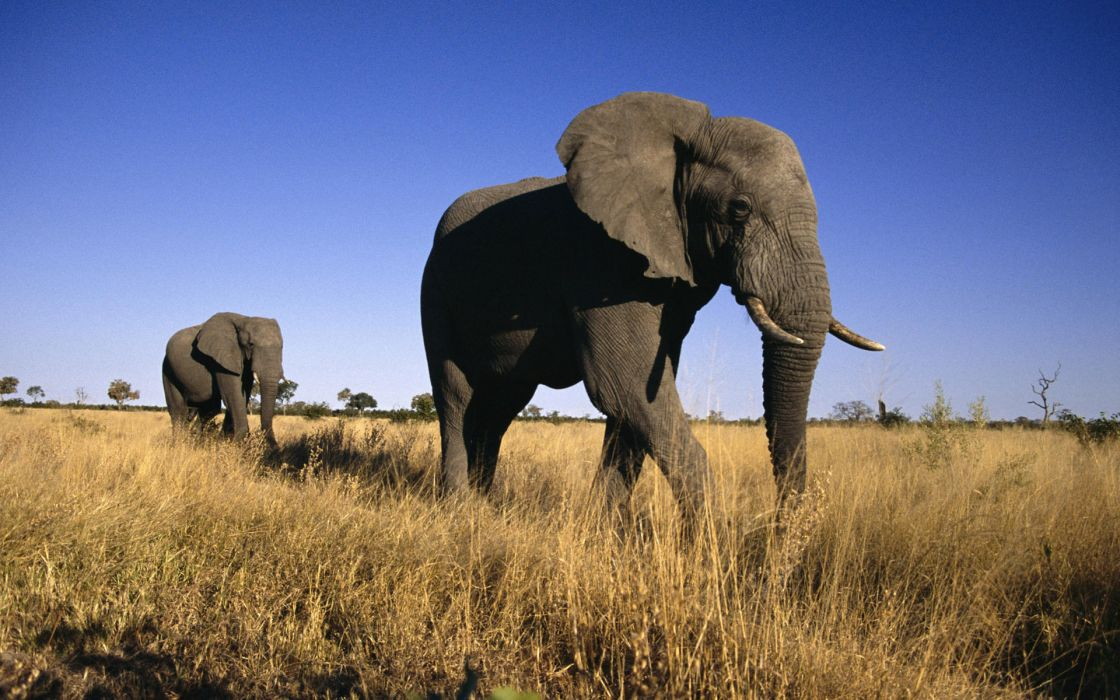 Animals elephants wallpaper