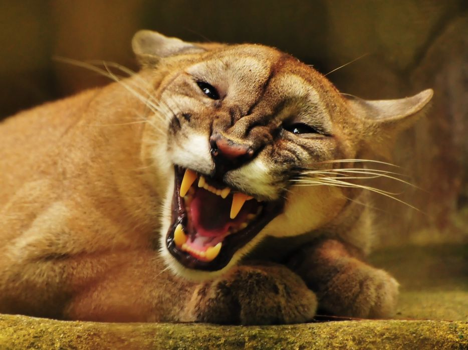 Animals puma mountain lions wallpaper