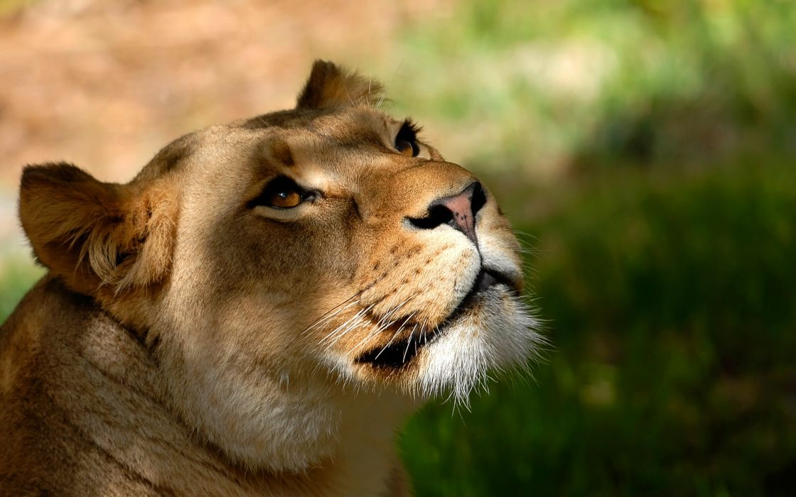 Nature animals lions wild animals wallpaper