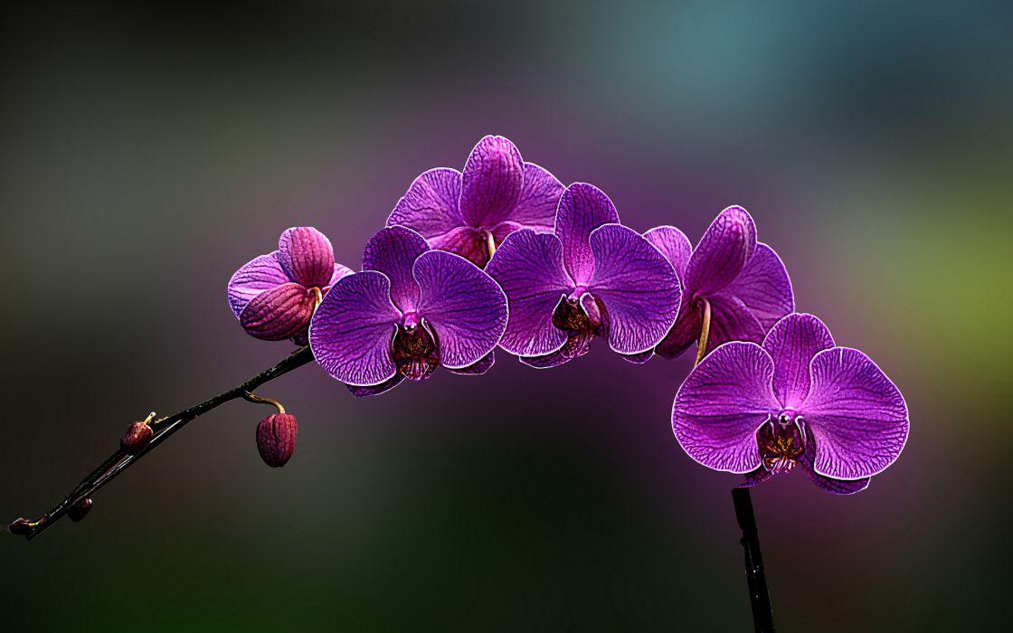 Flowers orchids purple flowers wallpaper