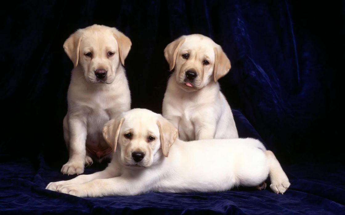 Animals dogs puppies canine wallpaper