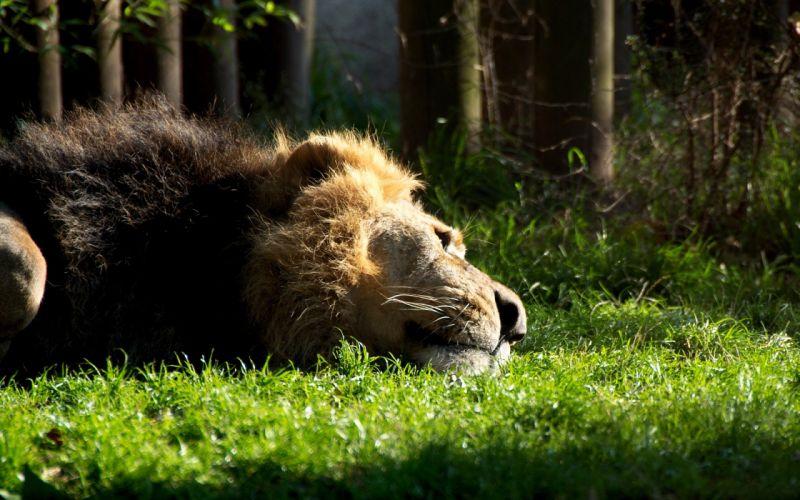 Animals grass lying down lions wallpaper