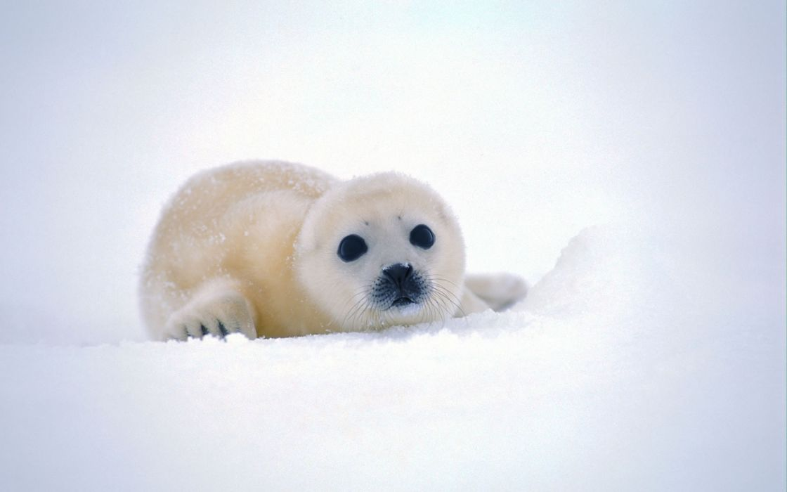 Nature snow seals animals backgrounds antarctica baby animals wallpaper