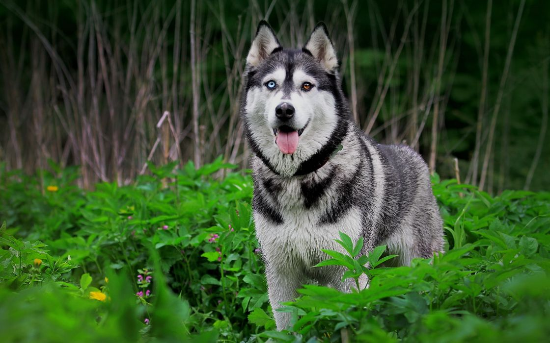 Nature forest animals dogs plants husky wallpaper