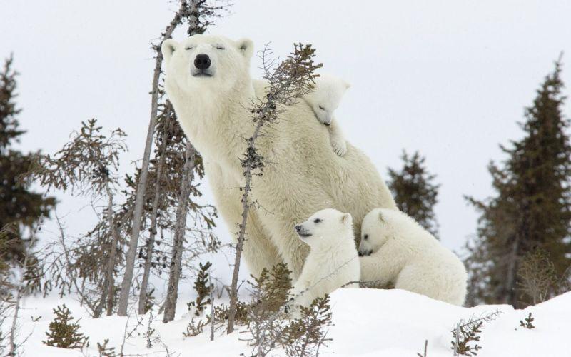 Snow animals polar bears baby animals wallpaper