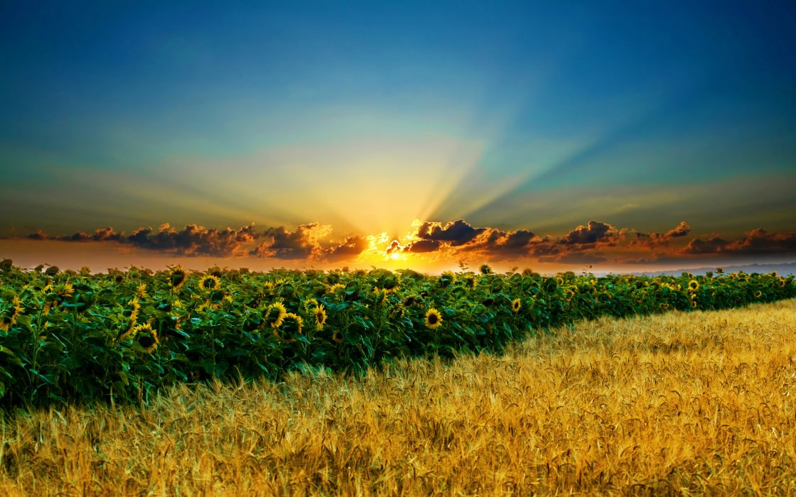 Sunset landscapes nature flowers sunflowers wallpaper