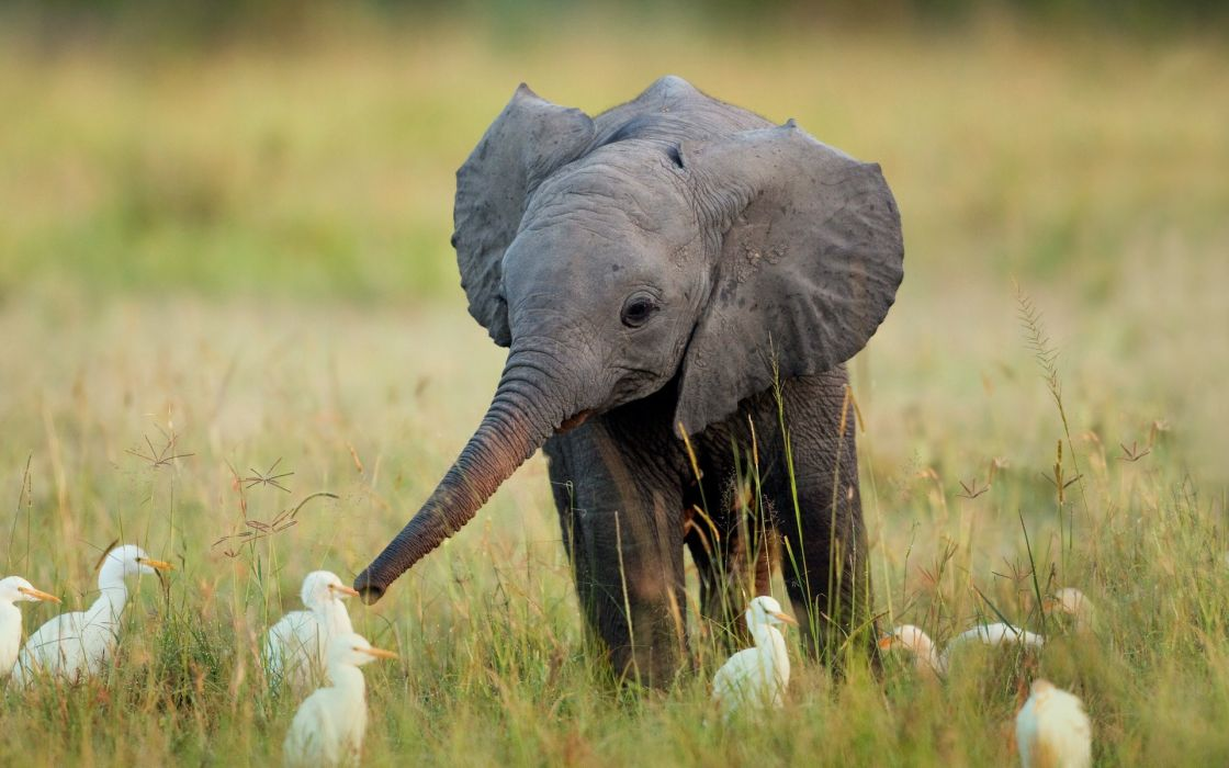 Birds animals funny elephants africa baby elephant baby animals wallpaper
