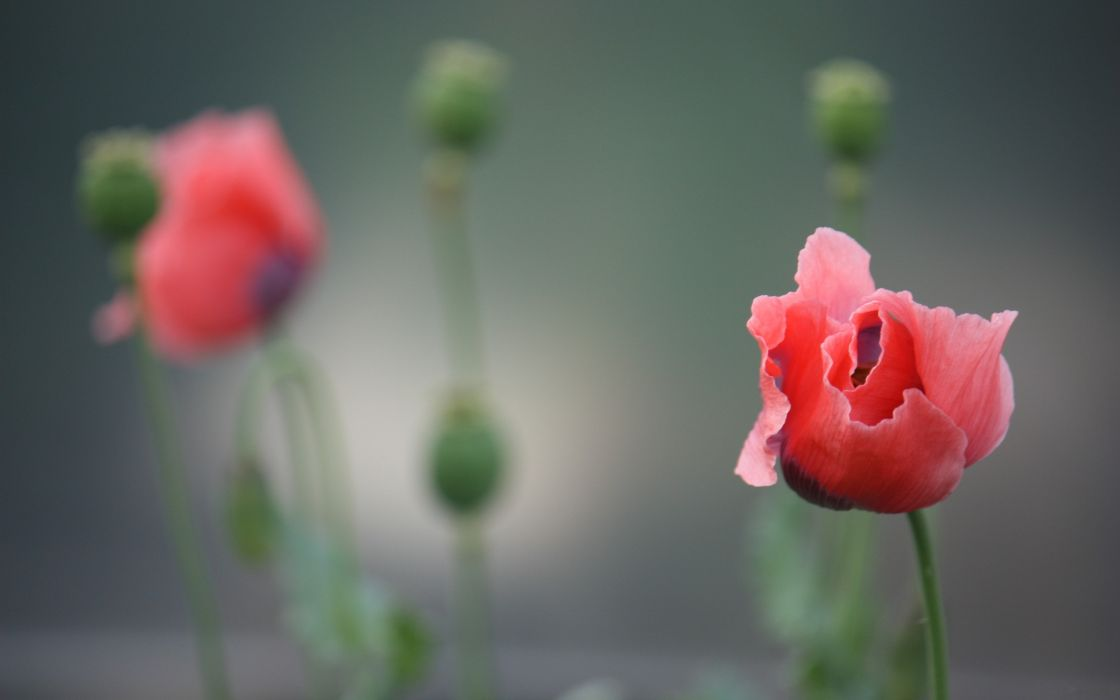 Flowers poppy depth of field wallpaper