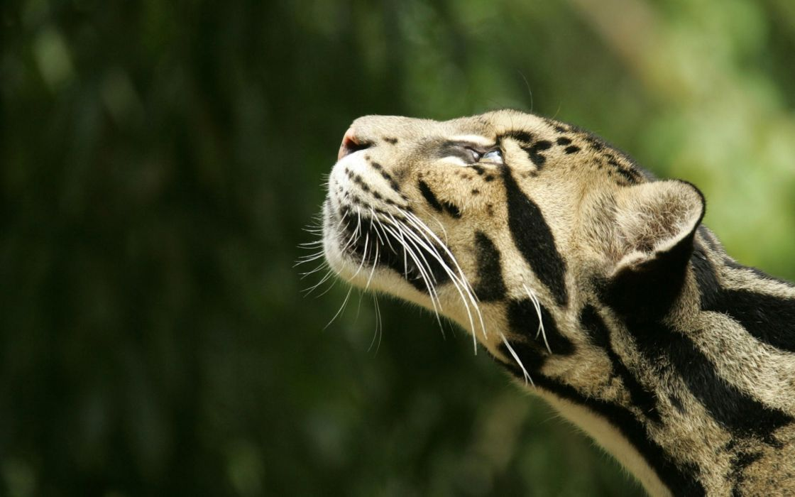 Nature cats wild animals clouded leopards wallpaper