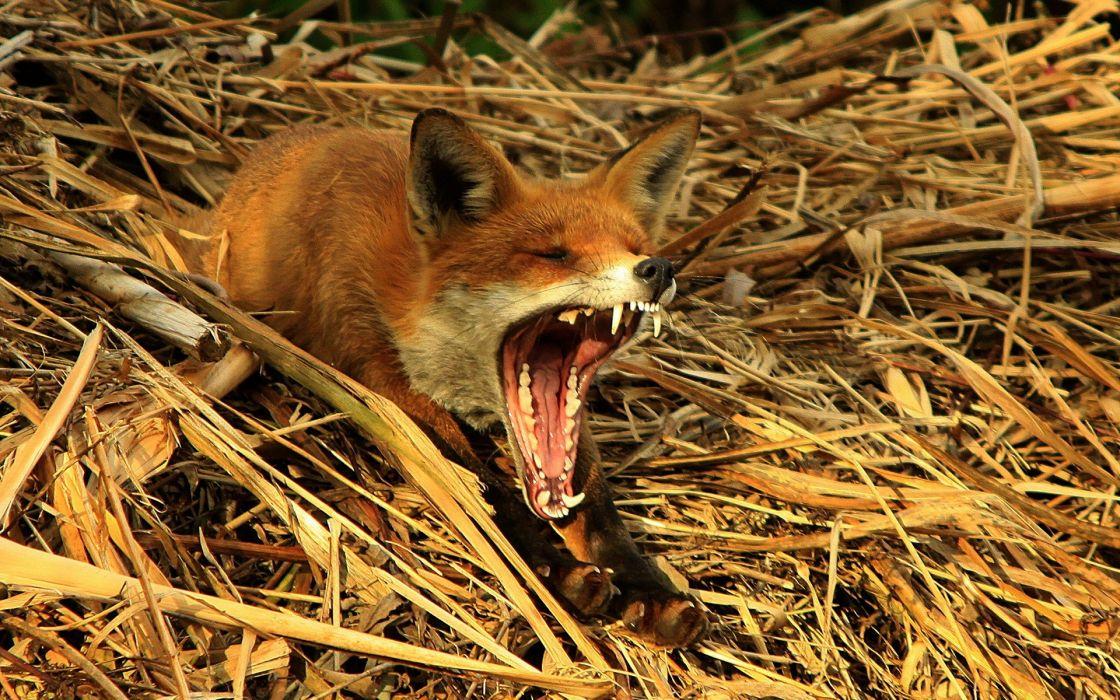 Animals wildlife yawn foxes wallpaper