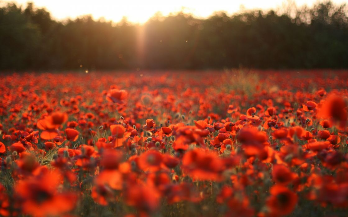 Sunset nature flowers poppy red flowers wallpaper