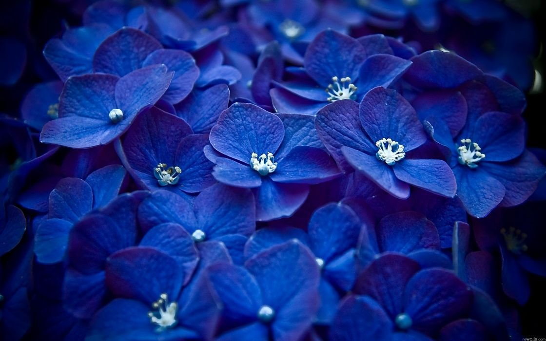Nature flowers macro watermark blue flowers hydrangeas wallpaper