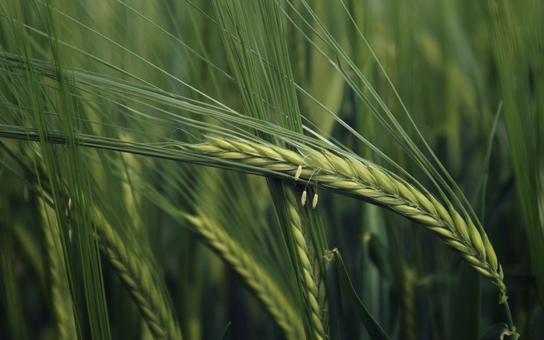 Green nature fields wheat plants macro wallpaper