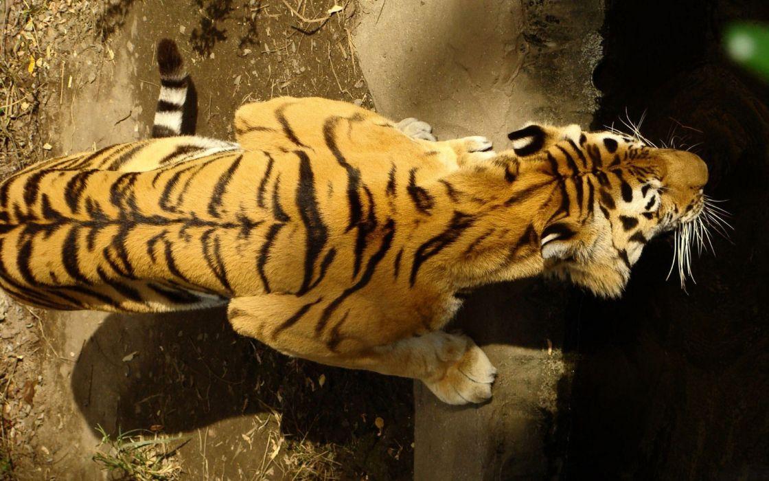 Animals tigers feline stripes wallpaper