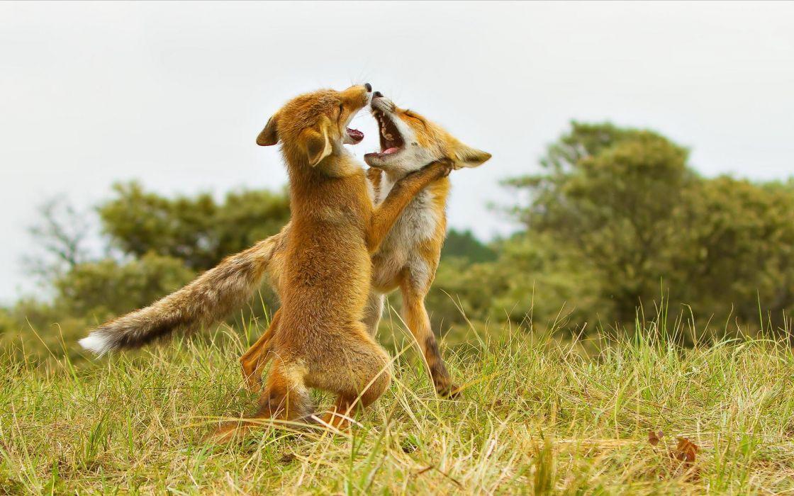 Animals fight wildlife foxes wallpaper