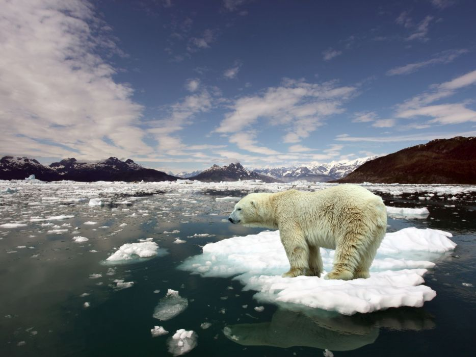 Ice animals arctic floating island polar bears wallpaper