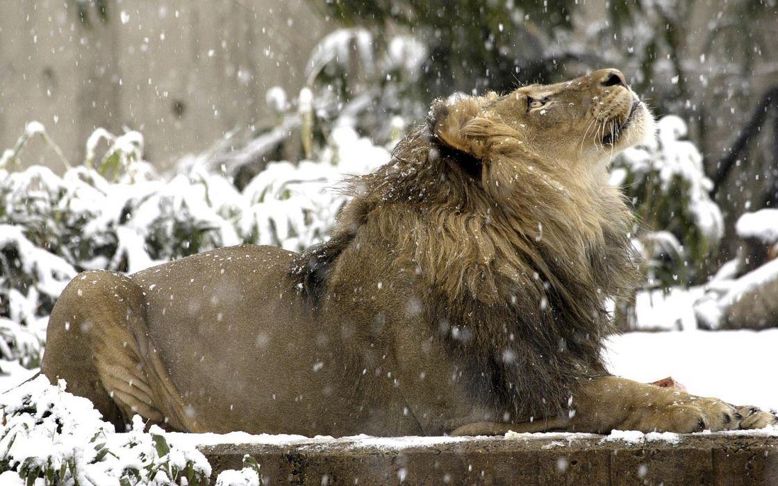 Snow lions wallpaper