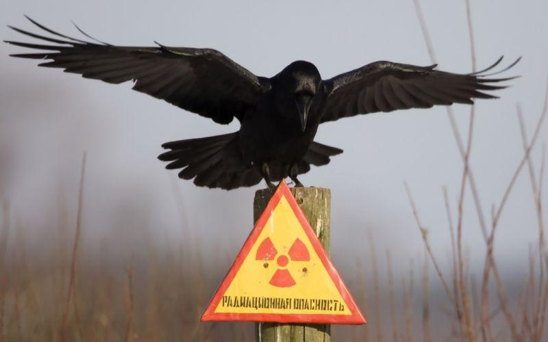 Birds animals artwork crows radiation wallpaper