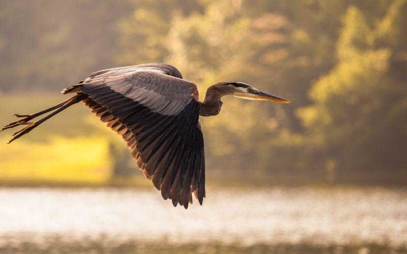 Nature flying birds crane wallpaper